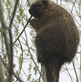 Porcupine In A Tree by Steve Somerville