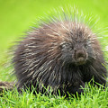 Porcupine by Tracy Munson