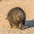 Porcupine Walking by Paul Freidlund