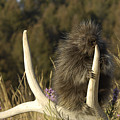Porcupine by Wildlife Fine Art