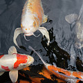 Portland Japanese Garden Koi Pond Portland Oregon Dsc6679 by Wingsdomain Art and Photography