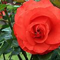 Portland Rose Garden by Margaret Hood