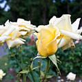 Portland Roses #3 by Robert J Caputo