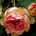 Portland's Rose Garden by Sonja Anderson