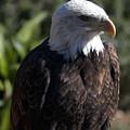 Portrait Bald Eagle  by Cliff Norton