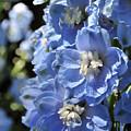 Portrait Blue Delphinium 114 by Terri Winkler