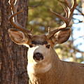 Portrait Of A 15-point Buck by Max Allen