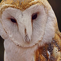 Portrait Of A Barn Owl  by Theo O'Connor