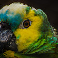 Portrait Of A Blue-fronted Parrot by Constance Puttkemery