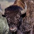 Portrait Of A Buffalo by Josh Bryant