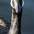 Portrait Of A Canada Goose by Jeff Townsend