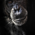 Portrait Of A Chimpanzee by Sheila Smart Fine Art Photography