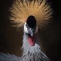 Portrait Of A Crowned Crane 2 by Ernie Echols