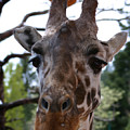 Portrait Of A Giraffe by Anthony Jones