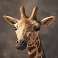 Portrait Of A Giraffe  by Daniel Eskridge