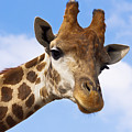 Portrait Of A Giraffe On The Background Of Blue Sky. by Olga Goncharenko