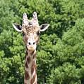 Portrait Of A Giraffe by Sheila Fitzgerald