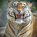 Portrait Of A Growling Tiger  by Jim Fitzpatrick