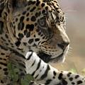 Portrait Of A Jaguar by Sabrina L Ryan