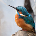 Portrait Of A Kingfisher by Bob Kemp
