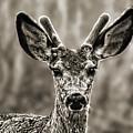Portrait Of A Male Deer II by Jim Fitzpatrick