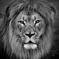Portrait Of A Male Lion Black And White Version by Jim Fitzpatrick