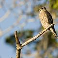 Portrait Of A Merlin Falco Columbarius by Tim Laman