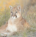 Portrait Of A Mountain Lion by Dennis Hammer