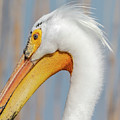 Portrait Of A Pelican 2018 by Thomas Young