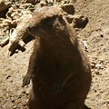 Portrait Of A Prarie Dog by Emily Kelley
