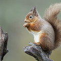 Portrait Of A Red Squirrel  by Calum Dickson
