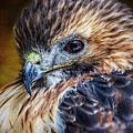 Portrait Of A Red-tailed Hawk by Wes Iversen