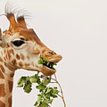 Portrait Of A Rothschild Giraffe IIi by Nick Biemans
