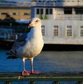 Portrait Of A Seagull by Bonnie Follett