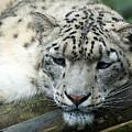 Portrait Of A Snow Leopard by Toula Mavridou-Messer