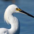 Portrait Of A Snowy Egret by Kala King