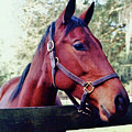 Portrait Of A Thoroughbred by D Hackett