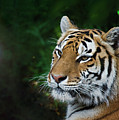 Portrait Of A Tiger by John Christopher