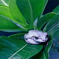 Portrait Of A Tree Frog by Donald Hazlett
