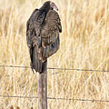 Portrait Of A Vulture by Bill Kesler