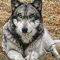 Portrait Of A Wolf by Shari Jardina