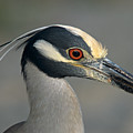 Portrait Of A Yellow Crowned Heron by John Harmon