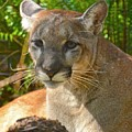 Portrait Of A Young Florida Panther by Carol Bradley