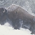 Portrait Of An American Bison by Michael Melford