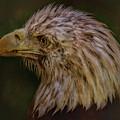 Portrait Of An Eagle by Elizabeth Winter