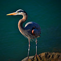 Portrait Of An Heron by See My  Photos