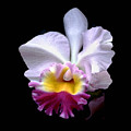 Portrait Of An Orchid  by Linda  Parker