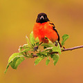 Portrait Of An Oriole by Heather Hubbard