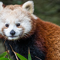 Portrait Of Cini The Red Panda by Greg Nyquist