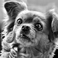 Portrait Of Dog  by Daliana Pacuraru